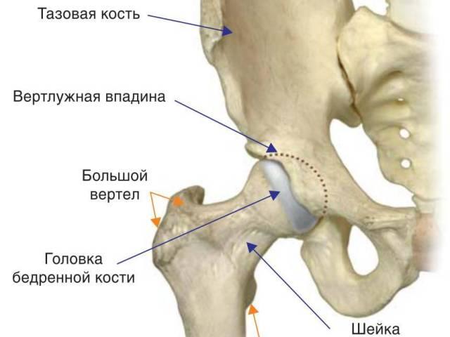 Схематическая анатомия тазобедренного сустава